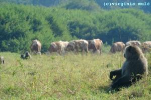 In places like Nyagatare, Rwanda, human-wildlife-livestock interactions are unavoidable.