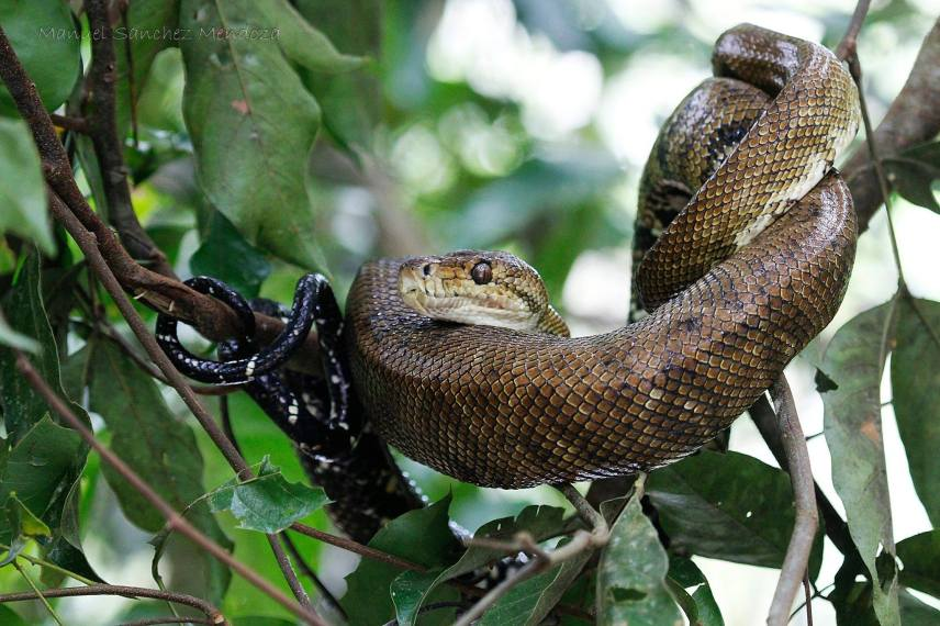 Northern tree boa