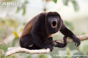 Male-mantled-howler-monkey-howling