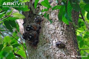 Owl Monkey Family