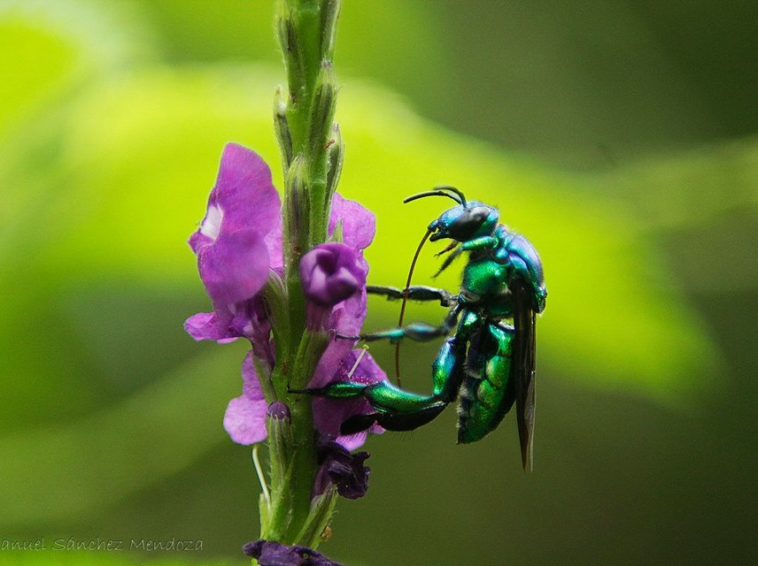 Euglossine bee