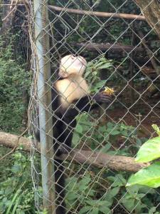 Adult Male Capuchin, Attempt to Reintroduce into Wild