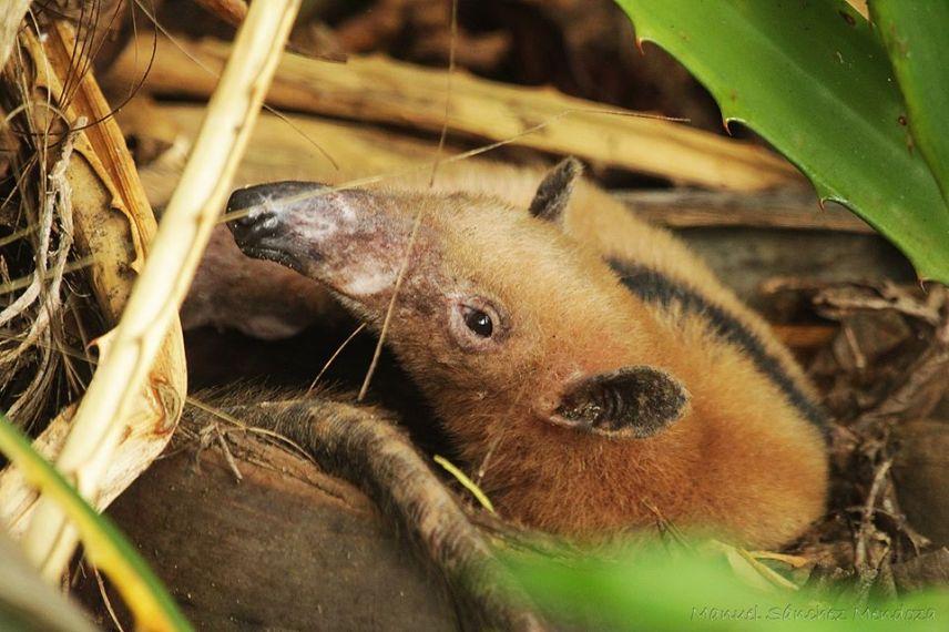 Northern tamandua