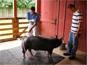 Target training a Berkshire pig