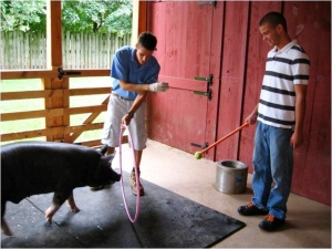 Training Berkshire pig to go through hoola hoop with target pole