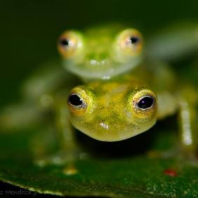 Valerio's glass frog