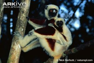 Coquerel's Sifaka With Infant
