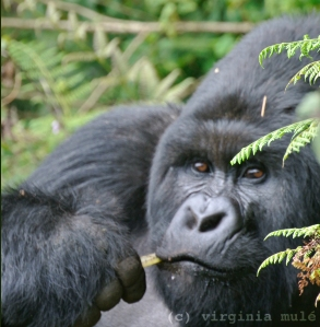 Gihishamwotsi is the beta-silverback in the Sabyninyo group of Mountain Gorillas- the son and heir of dominant silverback Guhonda. Although there is no oil exploration in the Rwandan section of the Virungas, ecological disturbance does not follow political boundaries and oil drilling would likely to cause problems that span country borders.