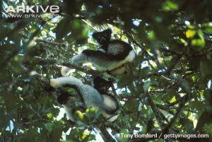 pair of indri