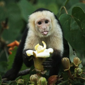 White-faced capuchin Photographer: Manuel Sanchez Mendoza