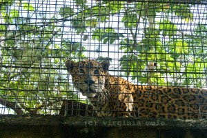 Rocky is one of the many jaguars that lives at the zoo after developing a preference for hunting livestock rather than wild game. The zoo works with farmers to encourage them to trap the jaguars for relocation to the zoo, rather than shooting/killing them.