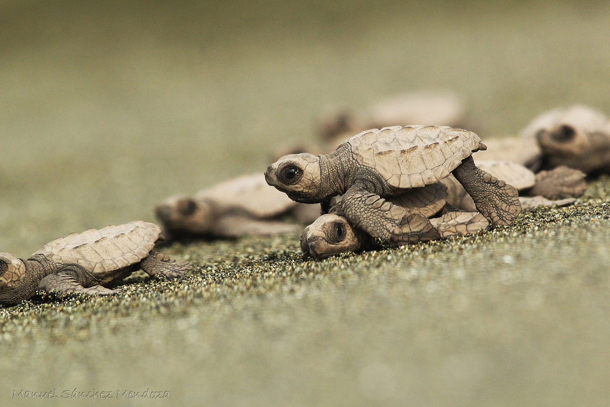 animals that need our help olive ridley sea turtle dantaisms