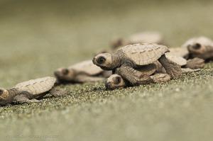Olive Ridley Sea Turtle Piro Beach- Osa Peninsula, Costa Rica Photo Credit to Manuel Sánchez Mendoza