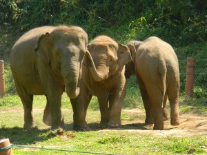 Elephants at the camp interact with one another daily, though breeding is not encouraged. Photo by: Lisa Barrett