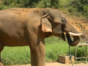 Somjai, Sahm's older brother, drinks from a hose in the elephant camp.