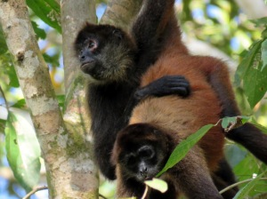 Black handed spider monkeys