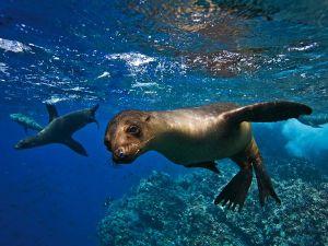 galapagos-sea-lion_20473_600x450
