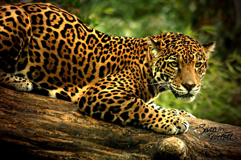 jaguar-05