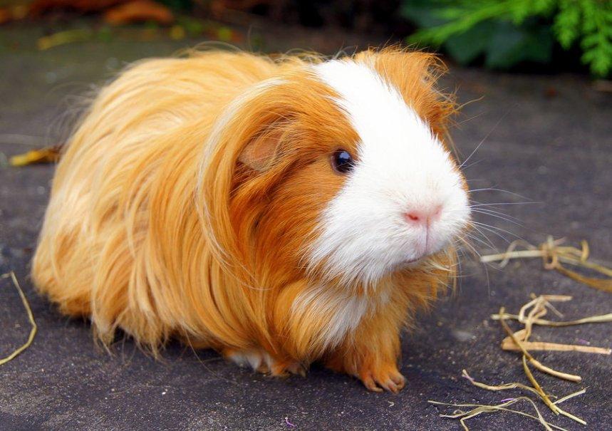Guinea-Pig-05