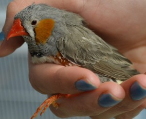 male zebra finch hand