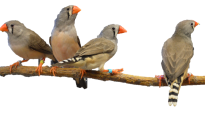 zebra finches on branch