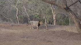 An Asiatic Lion at Gir Lion Sanctuary