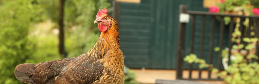 Feeding Chickens Meat And Food Scraps Sustainable Safe Choice