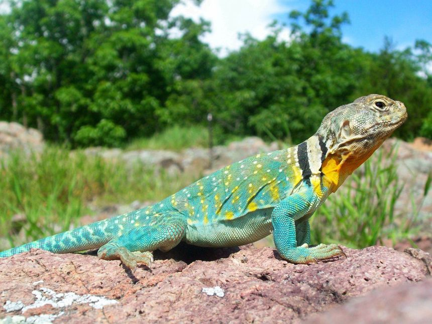 1200px-Common_Collared_Lizard
