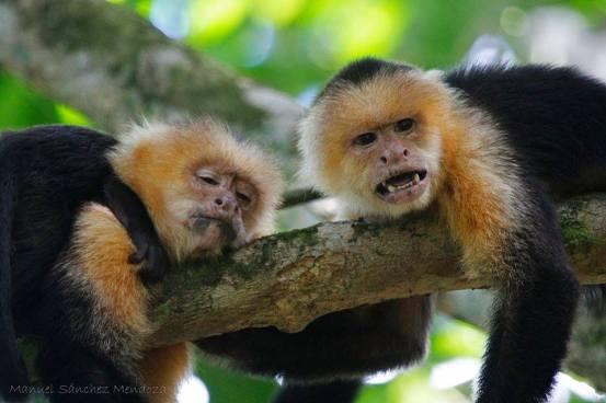 capuchins-manuel